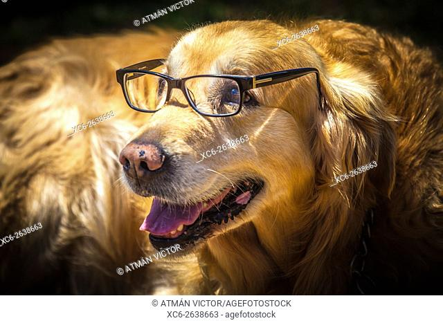 portrait of a golden retriever with eyeglasses on