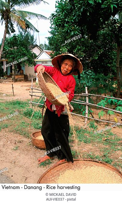 Vietnam - Danang - Rice harvesting