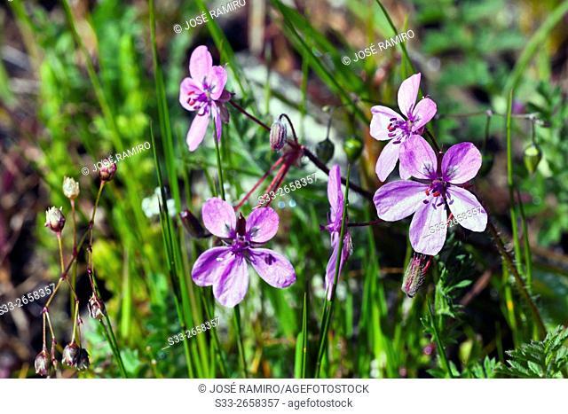 Wild flowers in Valdelavieja. Cadalso de los Vidrios. Madrid. Spain. Europe