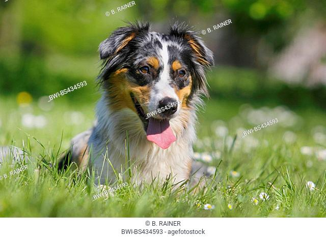 Australian Shepherd (Canis lupus f. familiaris), 19 months old Australian Shepherd colored bluemerle copper lying in a meadow, Germany