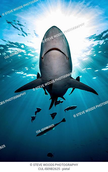 Large Oceanic Blacktip Shark (Carcharhinus Limbatus) swimming near surface of ocean, Aliwal Shoal, South Africa