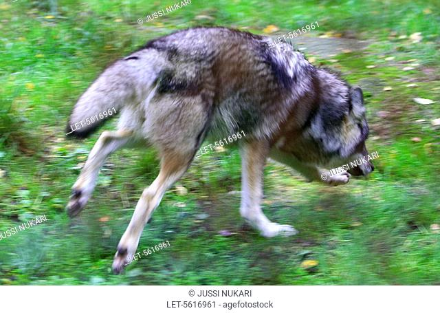 A wolf Canis lupus in the Ähtäri Zoo in Finland  The full-grown wolf weighs 20 - 55 kilos  There were over 200 wild wolves in Finland at the end of the year...
