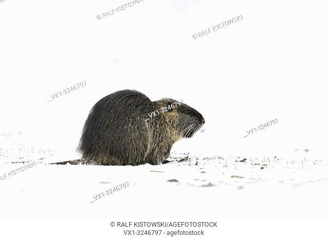 Coypu / River rat / Nutria ( Myocastor coypus ) in winter, feeding on snow covered farmland, wildlife, Europe