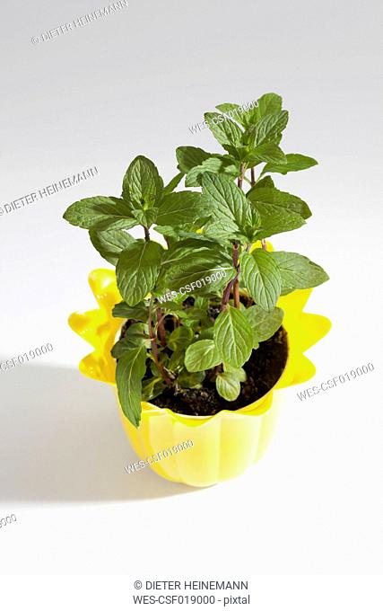 Potted plant of Japanese Mint on white background, close up