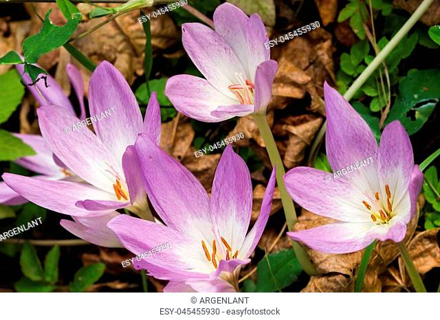 Blooming colchicum autumnale, autumn crocus, in fallen leaves, selective focus, shallow DOF