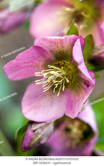 Hellebore, Helleborus nigerm, Christmas Rose