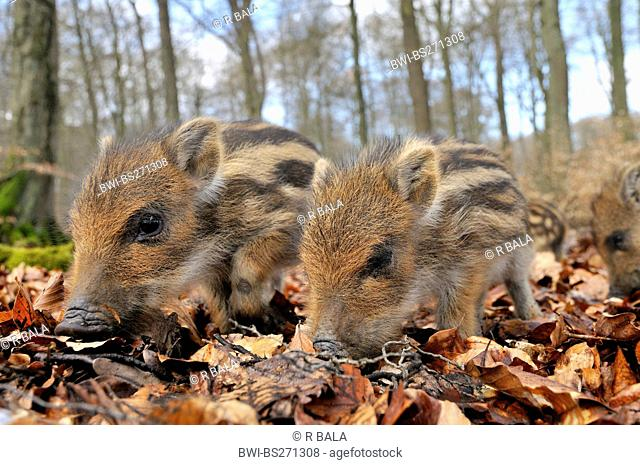 wild boar, pig, wild boar Sus scrofa, runts burrowing through the grpund, Germany