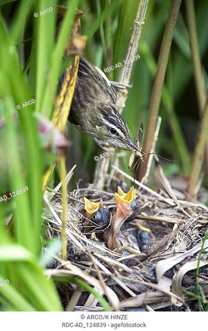 Sedge Warbler at nest with chicks Lithuania Acrocephalus schoenobaenus