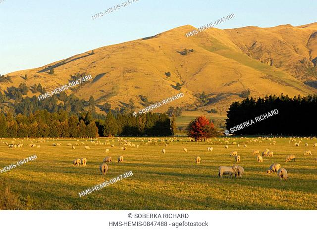 New Zealand, South Island, Region of Southland, sheeps in a pasture at sunset