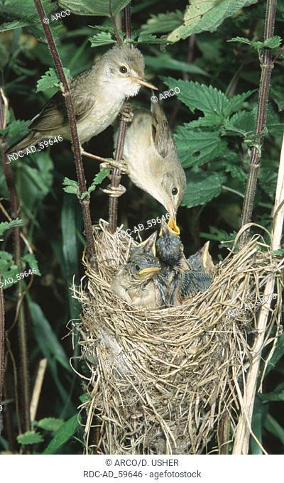 Marsh Warbler pair feeding chicks at nest Lower Saxony Germany Acrocephalus palustris