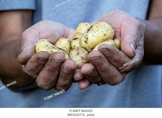 Close up of person holding freshly harvested potatoes