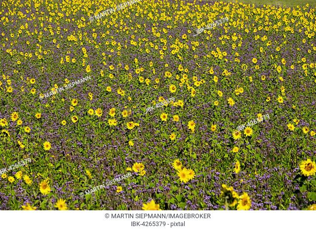 Field of sunflowers (Helianthus) and lacy phacelia (Phacelia tanacetifolia), Palling, Rupertiwinkel, Upper Bavaria, Bavaria, Germany