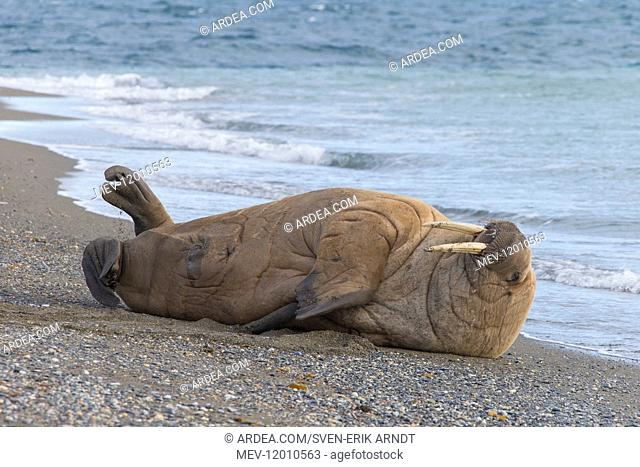 Walrus - adult male at the beach - Svalbard, Norway