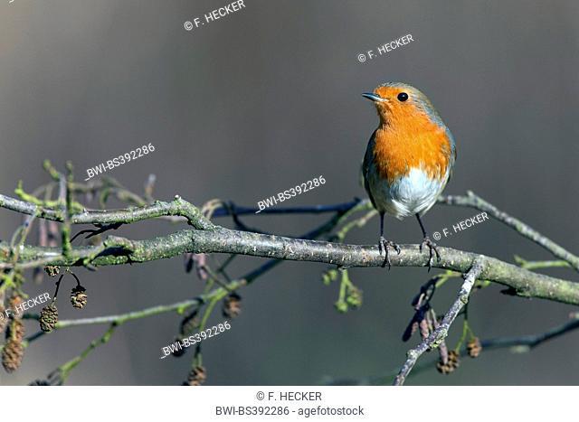 European robin (Erithacus rubecula), on an alder twig, Germany