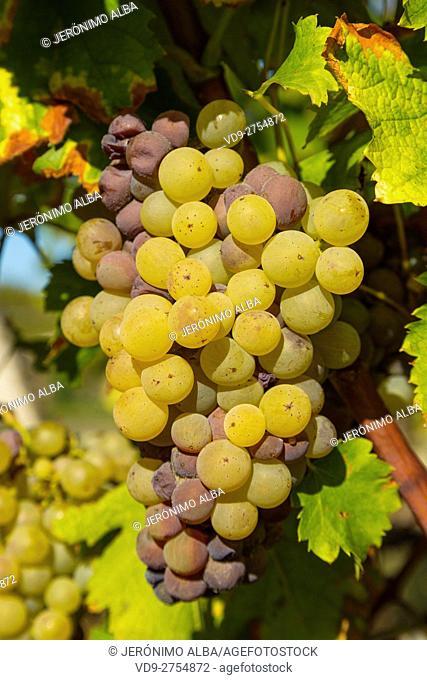 White grape in Sauternes Region, Barsac, Bordeaux, Aquitaine France Europe
