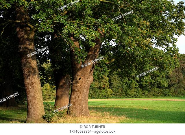Oak Trees Nonsuch Park Cheam Surrey England