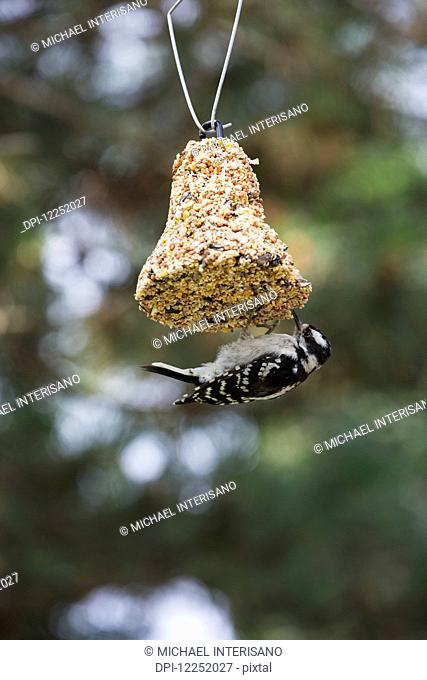 Close up of woodpecker feeding on a bell shaped seed hanging; London, Ontario, Canada