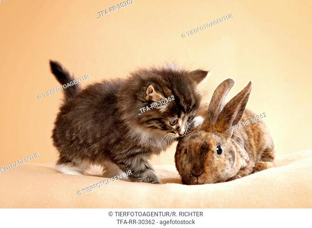 Norwegian Forest Cat and bunny