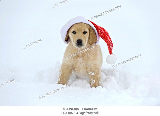 Golden Retriever. Puppy (9 weeks old) with Santa Claus hat sitting in snow