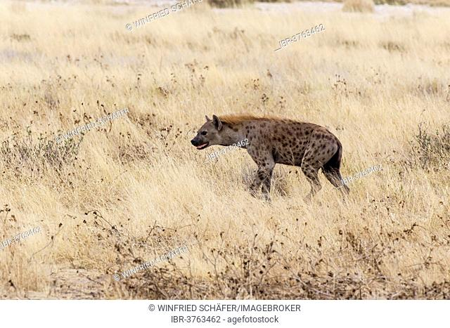 Spotted Hyena or Laughing Hyena (Crocuta crocuta), Etosha National Park, Namibia