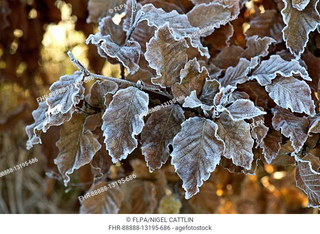 Hard frost on golden brown beech leaves on a cold winter morning in December