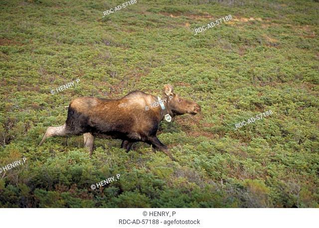 Moose cow with radio collar Gros Morne national park Newfoundland Canada Alces alces side