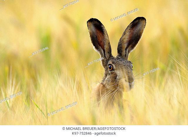 European brown hare in a grain field, Lepus europaeus, June, Summer, Germany