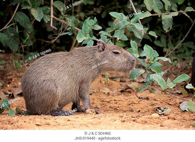 Capybara, (Hydrochoerus hydrochaeris), young on shore alert, Pantanal, Mato Grosso, Brazil, South America