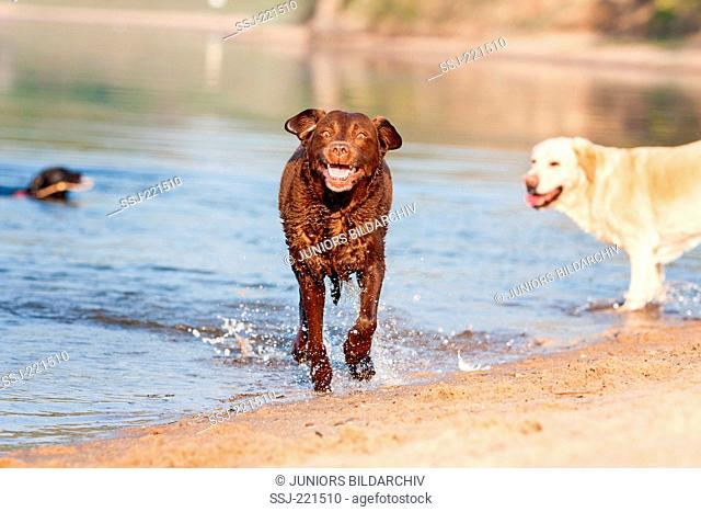 Labrador Retriever. Brown bitch running out of water. Germany