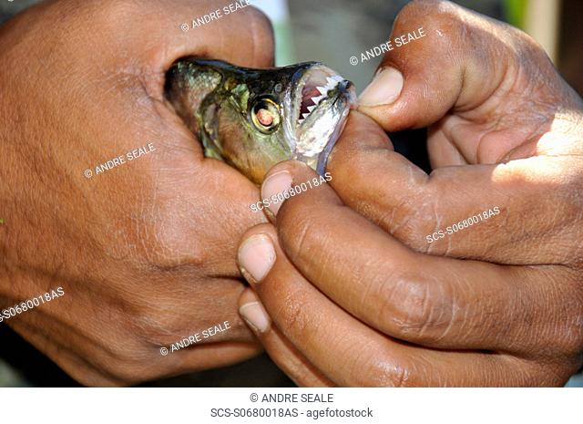 Freshly caught piranha, Pantanal, Mato Grosso do Sul Brazil