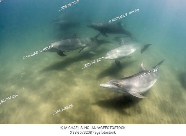 A pod of common bottlenose dolphins, Tursiops truncatus, underwater at El Mogote, Baja California Sur, Mexico