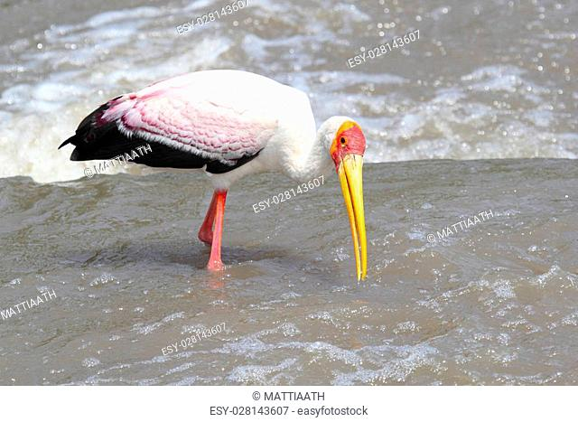A Yellow-billed Stork, Mycteria ibis, fishing in a african river in Tanzania. This large wading bird is widespread in regions south of the Sahara and also...