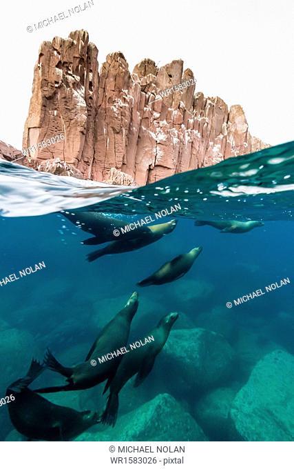 California sea lions (Zalophus californianus) underwater at Los Islotes, Baja California Sur, Mexico, North America