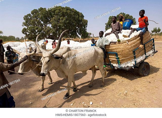 Chad, Sahel, Mayo Kebbi, Gounou Gaya, collection of cotton with a zebu cart