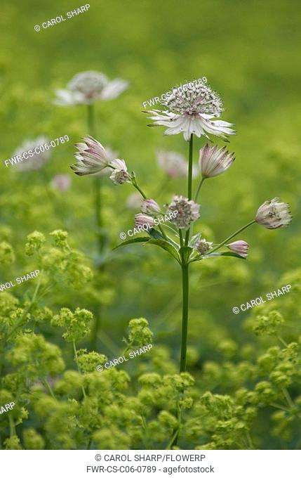 Astrantia major, Astrantia, Masterwort