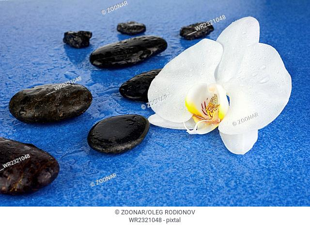 Black spa stones and white orchid flowers over blue background