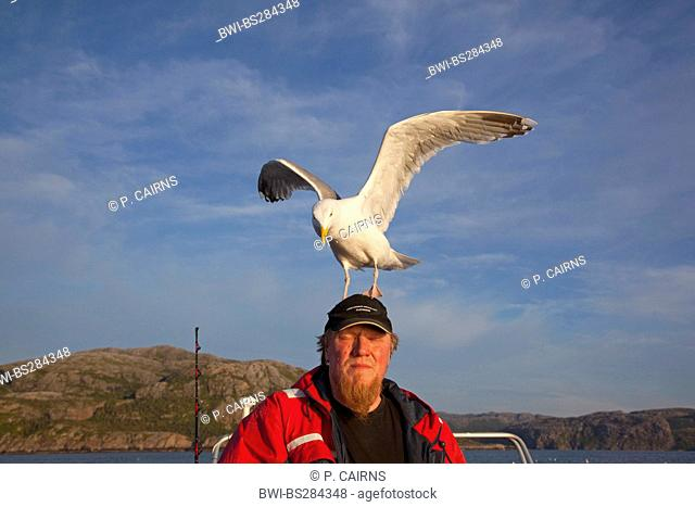 herring gull (Larus argentatus), landing on man's head, habituated to being fed , Norway, Flatanger