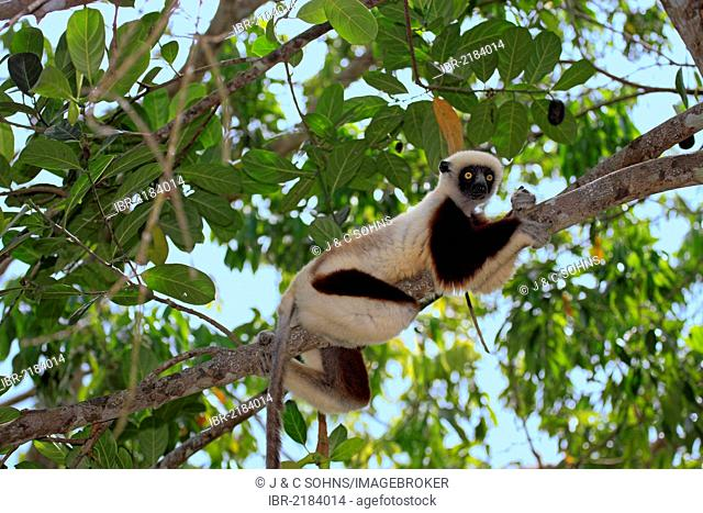Coquerel's Sifaka or Crowned Sifaka (Propithecus coquereli), Madagascar, Africa