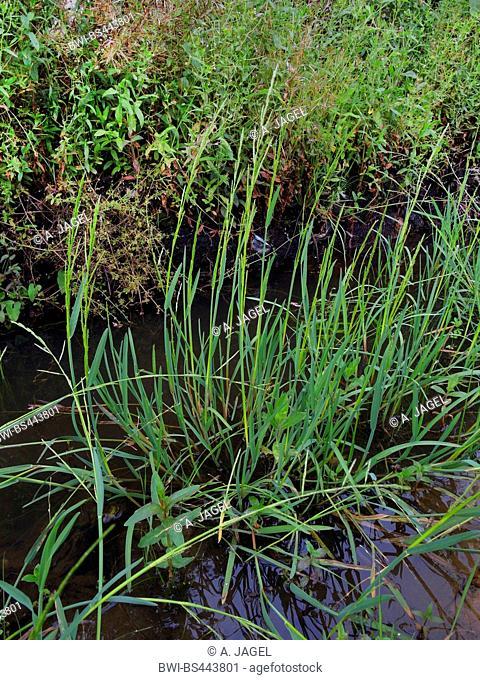 small sweet-grass (Glyceria declinata, Glyceria fluitans agg.), blooming in water, Germany, North Rhine-Westphalia