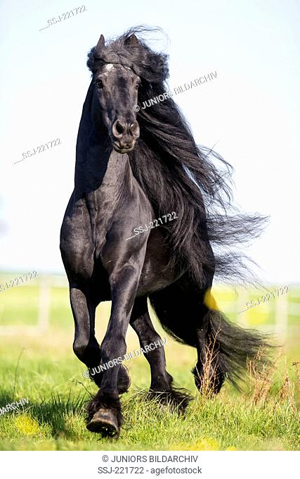 Frisian Horse. Black stallion trotting on a pasture. Germany