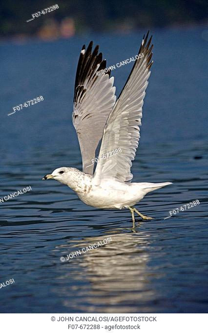 Ring-Billed Gull (Larus delawarensis). New York. USA. Adult taking off from lake. Most commonly seen gull. Especially inland