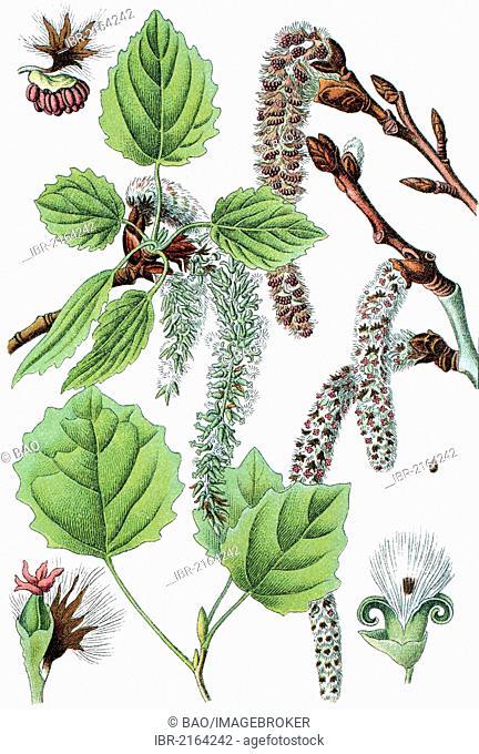 Common aspen, Eurasian aspen (Populus tremula), medicinal plant, crop plant, chromolithography, about 1870