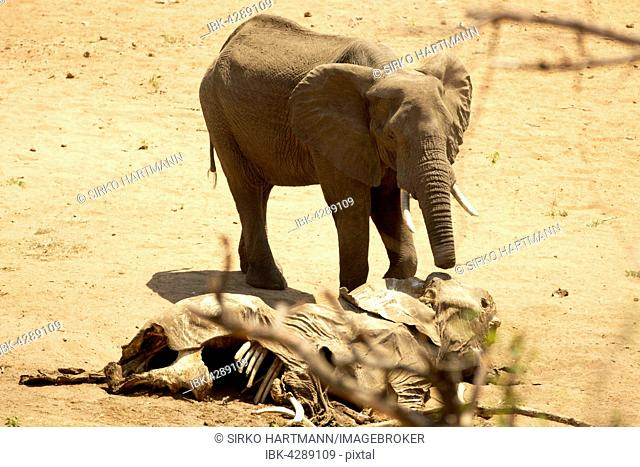African bush elephant (Loxodonta africana) with half trunk, carcass of same species, injured by poachers, Kruger National Park, South Africa