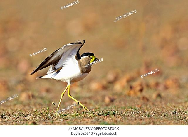 Asia, India, Karnataka, Sandur Mountain Range, Yellow-wattled lapwing Vanellus malabaricus