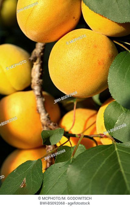 apricot tree (Prunus armeniaca), fruits on tree