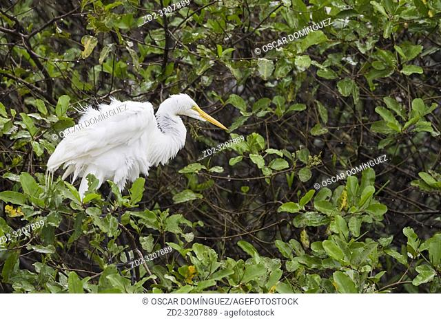Great Egret (Ardea alba) shaking feathers. Palo Verde National Park. Guanacaste Province. Costa Rica