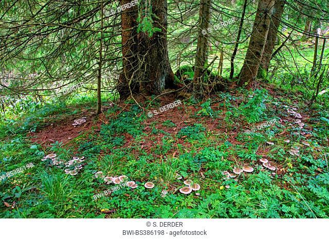blewit (Lepista nebularis), fairy ring, Germany, Bavaria, Oberbayern, Upper Bavaria