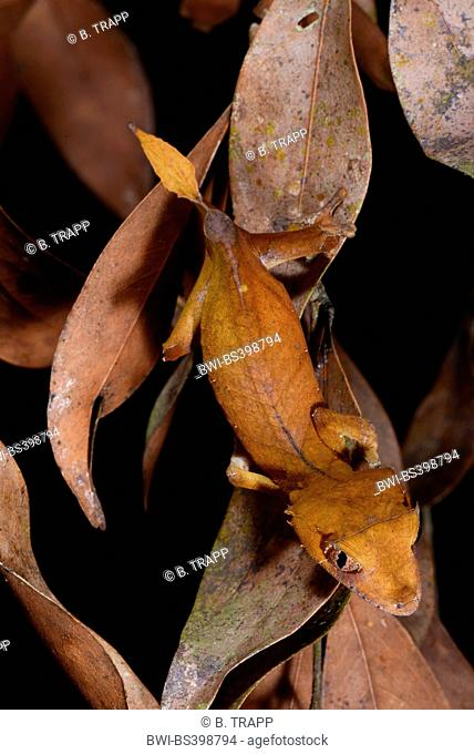 Spearpoint leaf-tail gecko (Uroplatus ebenaui), on fallen leaves, Madagascar, Nosy Be, Naturreservat Lokobe