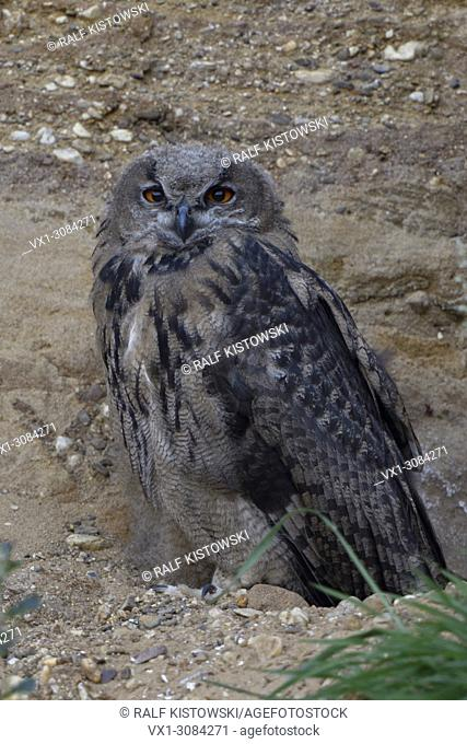 Eurasian Eagle Owl ( Bubo bubo ), young, sitting in the slope of a sand pit, hidden, camouflage, wildlife, Europe