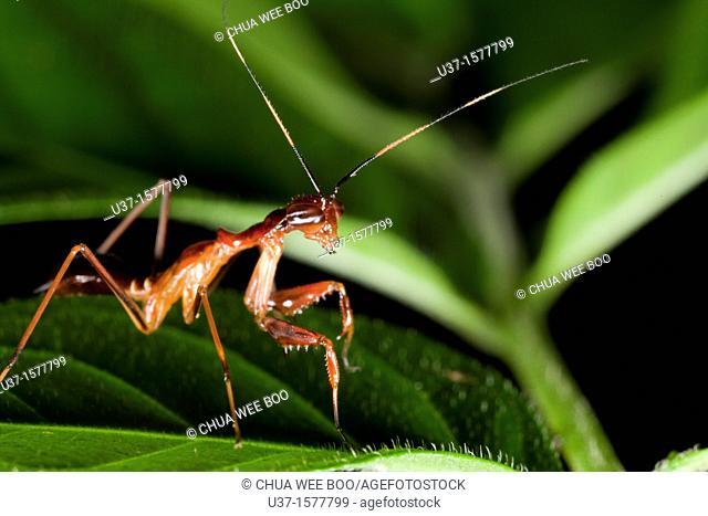 Ant mimic mantis found at Kampung Skudup, Sarawak, Borneo